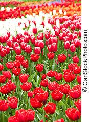 rojo, y, rosa, tulipanes, en, keukenhof, jardín, países bajos