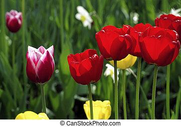 rojo, y, tulipán violeta