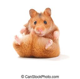rolig, hamster