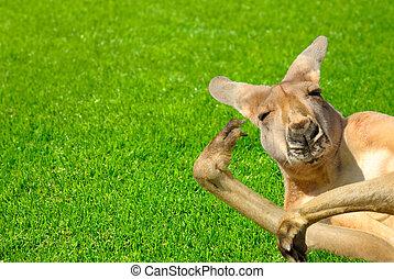 rolig, mänsklig, se, känguru, på, a, gräsmatta