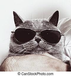 rolig, munkorg, av, grå, brittisk, katt, in, solglasögon