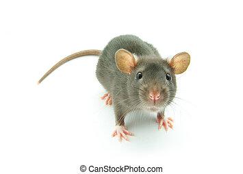 rolig, råtta