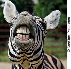 rolig, zebra