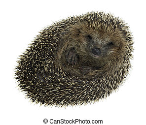 rolled-up hedgehog in white back - a young rolled-up...