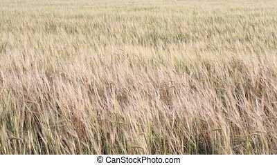 Rolling Kansas wheat field. Field of tall wheat swaying...