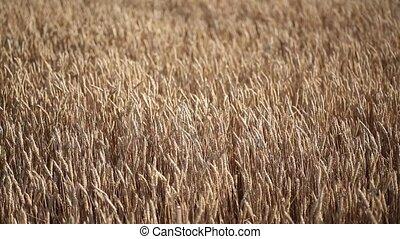 Rolling Kansas wheat field. Field of tall wheat swaying...