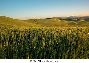 Rolling Wheat Field With Blue Sky