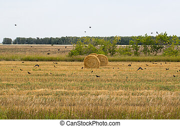Rolls of hay lying in the field