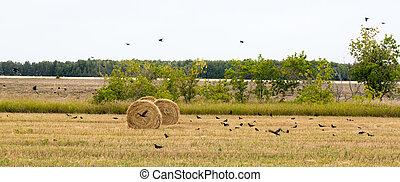 Rolls of hay lying in the field