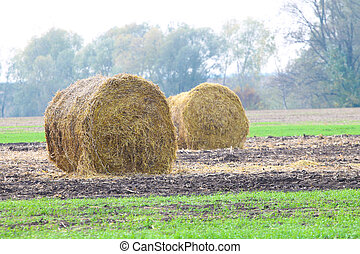 Rolls of haystacks on the field after harvesting wheat