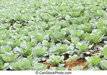 rolnictwo, kapusta