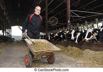 rolnik, krowy