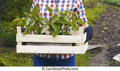 rolnik, praca, rozsady, kobieta, ogród, boks, roślina