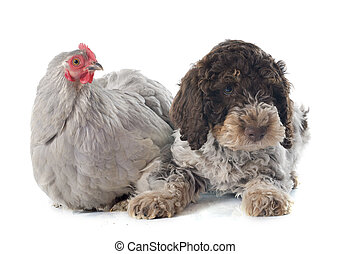 romagnolo, pollo, lagotto