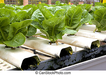 romaine, cultivé, organically, salade verte