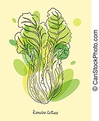 Romaine lettuce vector illustration in engraved style with...