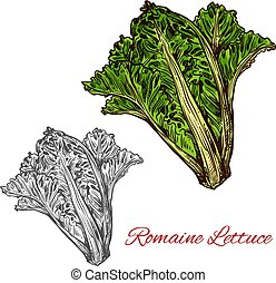 Romaine or cos lettuce sketch with green leaf - Romaine or...