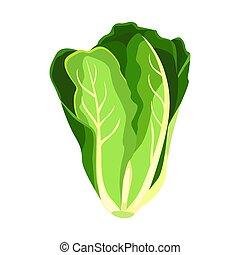 Romaine salad lettuce plant. Nature organic fresh green...