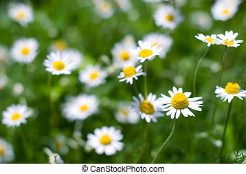 Roman chamomile flower - Full bloom of roman chamomile...
