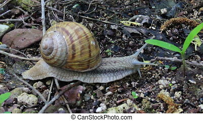 roman snail (Helix pomatia) - close-up crawling roman snail...