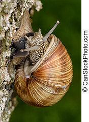 Roman Snail (Helix pomatia, Weinbergschnecke) crawling up a...
