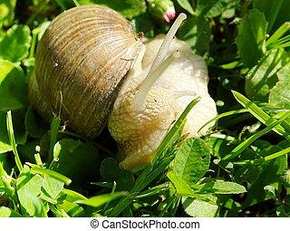 Roman snail on a walk through the spring grass in the garden. Also known as Helix pomatia, Burgundy snail, edible snail or escargot