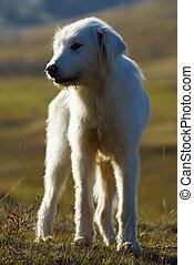 Romanian shepherd dog, looking for his sheep