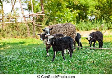 Romanovskaya sheep and lambs