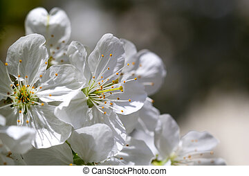 Romantic cherry blossoms in spring