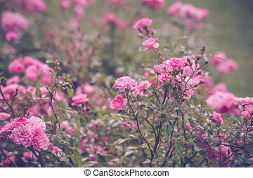 Romantic pink roses in a garden