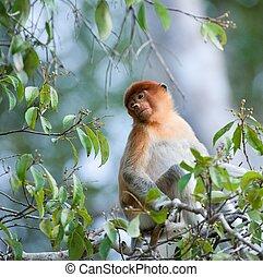 Romantic portrait proboscis. The monkey sits in tree branches on faintly blue background. Nasalis larvatus