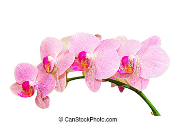 Romantic purity branch of spring pink spotted orchids