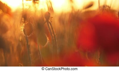 Romantic red poppies growing in a boundless field in Ukraine...