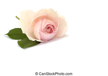romantic rose, isolated - Romantisch Rose, freigestellt