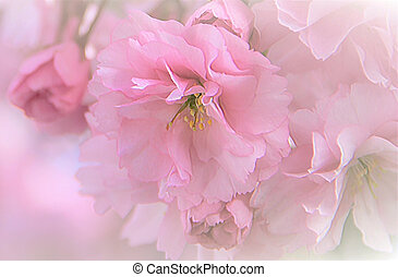 Romantic soft cherry blossoms - Romantic pink cherry...
