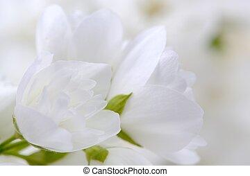 Romantic White Jasmine Flowers Close-Up - A close-up of...