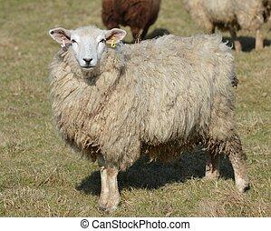 romney, 若い, 雌羊