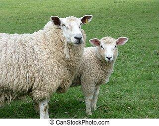 Romney ewe with her lamb