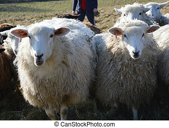 Romney Ewes Being Gathered
