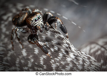 Jumping spider on the gray variegated feathers