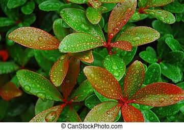 rood, afgetopt, bladeren, in, regen
