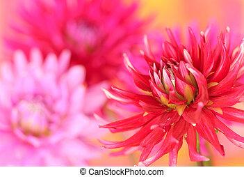 rood, dahlia, bloem