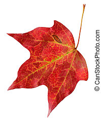 rood esdoornblad