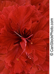 rood, hibiscus, achtergrond