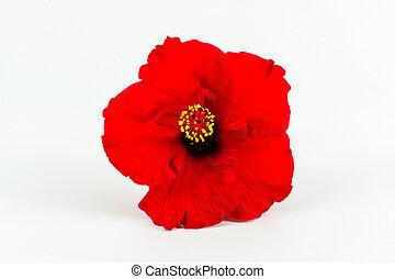 rood, hibiscus, bloem, isolated.