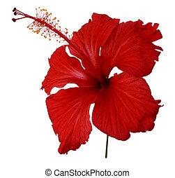 rood, hibiscus, bloem, op wit
