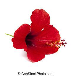 rood, hibiscus, bloem, vrijstaand