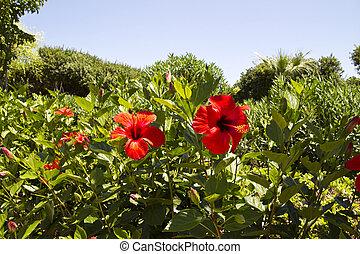 rood, hibiscus, bloemen