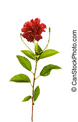 rood, hibiscus, met, gebladerte