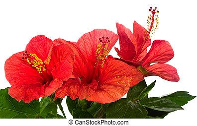 rood, hibiscus, vrijstaand, op, de, witte achtergrond